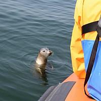 Close view of Seal on Seafari from Edinburgh