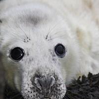 Baby Seal Close up